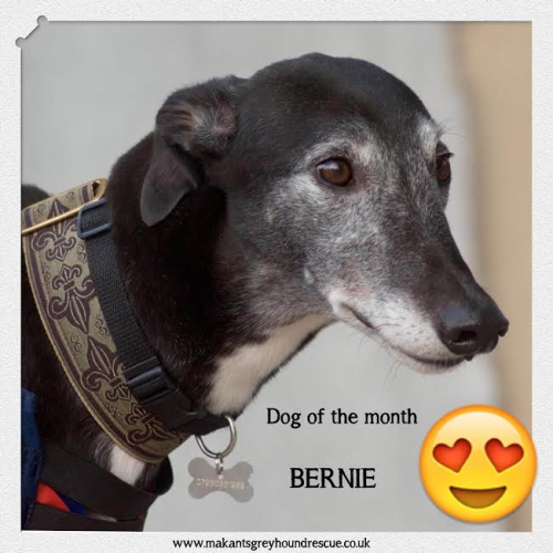 Dog of the month december 2016 Bernie
