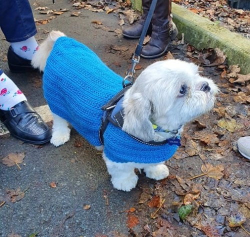 White dog blue knitted coat